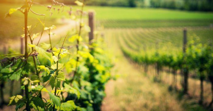 Gruzija ir vīnogulāju un vīndarīšanas dzimtene
